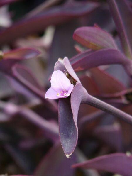 Tradescantia pallida 'Purpurea' (Purple-heart spiderwort) flower