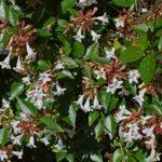 How to plant glossy abelia - abelia grandiflora
