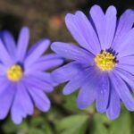 Anemone blanda (Winter windflower) - How to plant - www.dearplants.com