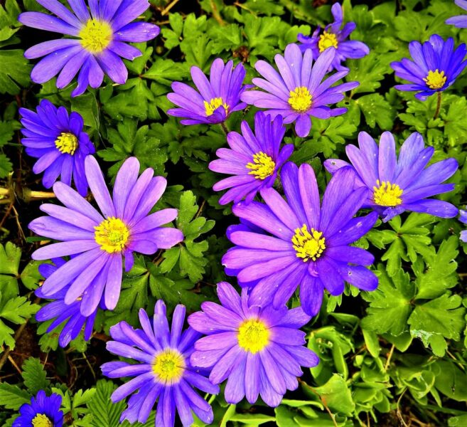 Anemone blanda (Winter windflower) - quickly forms large clumps - www.dearplants.com