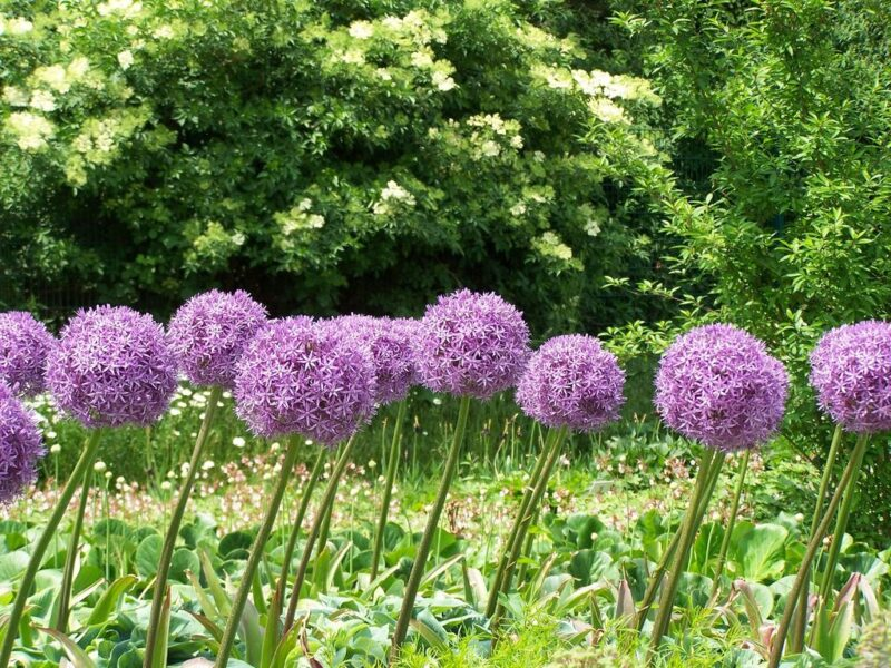 How to plant alliums - plant in borders - www.dearplants.com