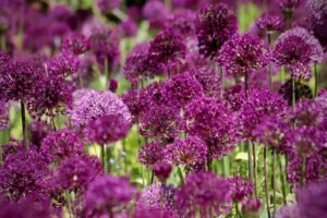 How to plant alliums - www.dearplants.com