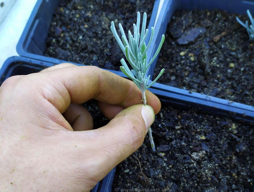 How to propagate lavender by semi-ripe cuttings
