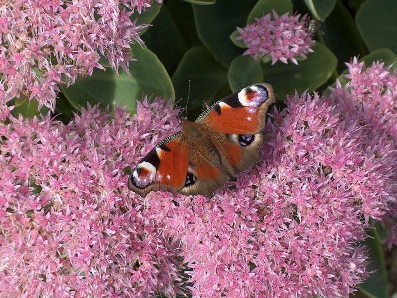 Sedum spectabile (Stonecrop) attracts butterflies - www.dearplants.com