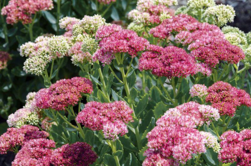 Sedum spectabile (Stonecrop) flowers