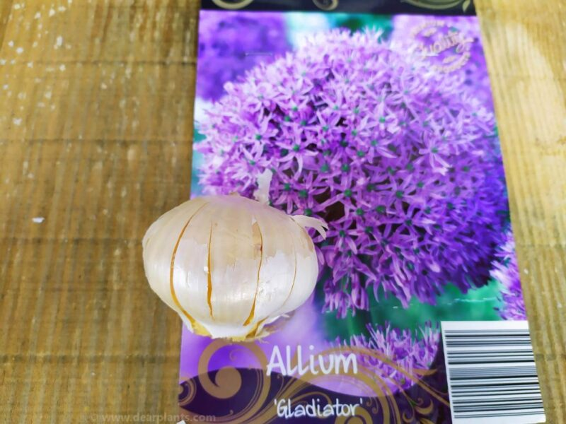 How to plant alliums - allium gladiator - www.dearplants.com