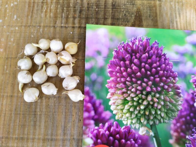 How to plant alliums - allium sphaerocephalon - www.dearplants.com