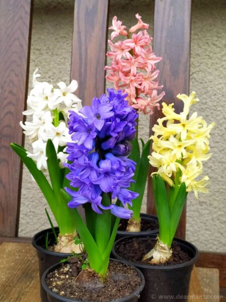 How to plant hyacinths (Hyacinthus orientalis) - Hyacinths in flower