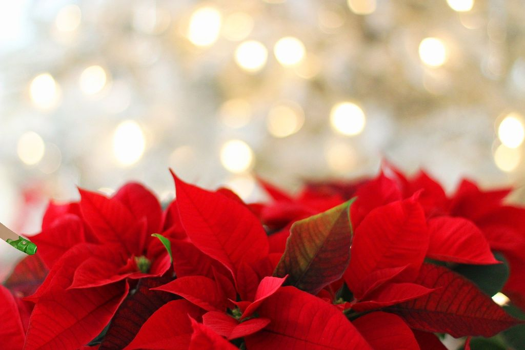 How to care poinsettias christmas plants all year round - www.dearplants.com