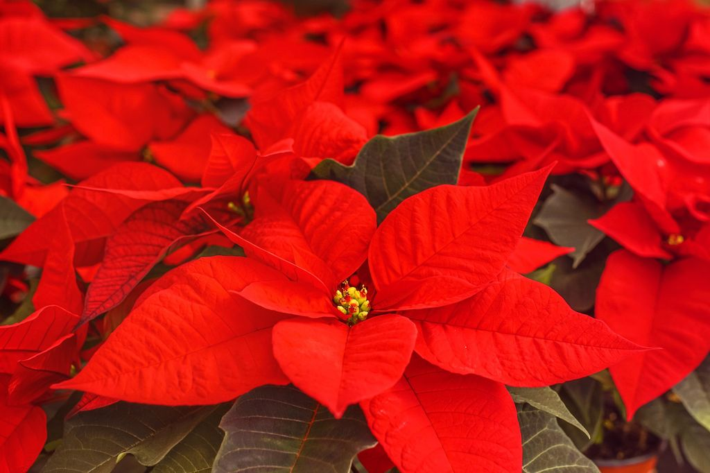 How to care poinsettias christmas plants all year round