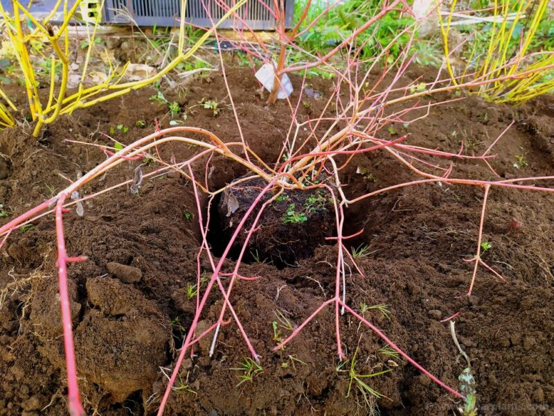How to plant a dogwood border using different Cornus for great color - dig and plant - www.dearplants.com