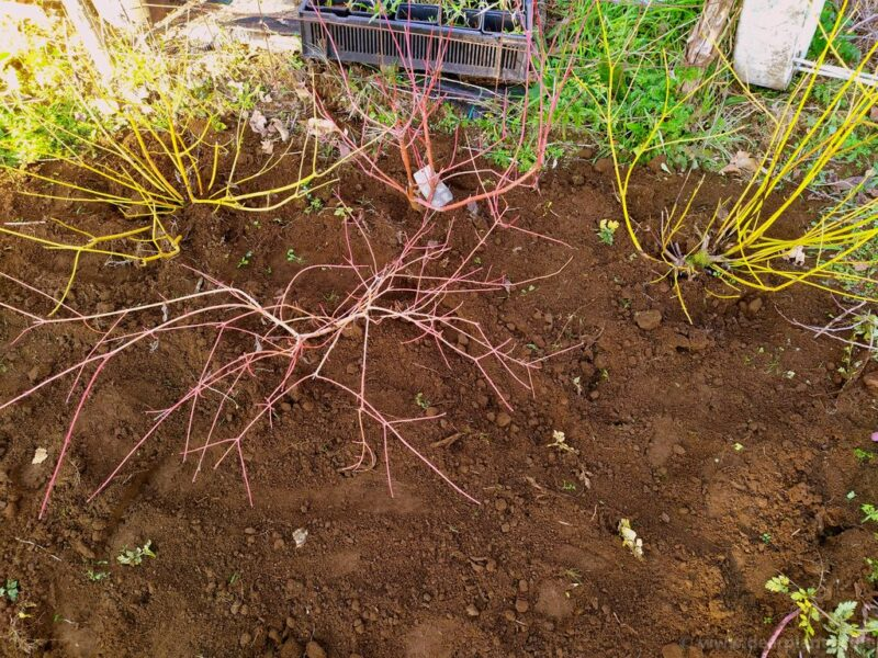 How to plant a dogwood border using different Cornus for great color - plant the shrub - www.dearplants.com