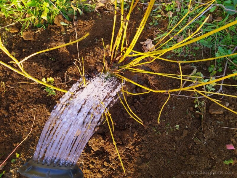 How to plant a dogwood border using different Cornus for great color - water each plant - www.dearplants.com