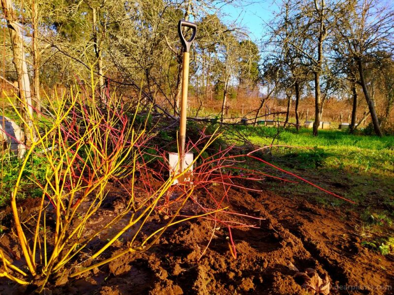 How to plant a dogwood border using different Cornus for great color - www.dearplants.com