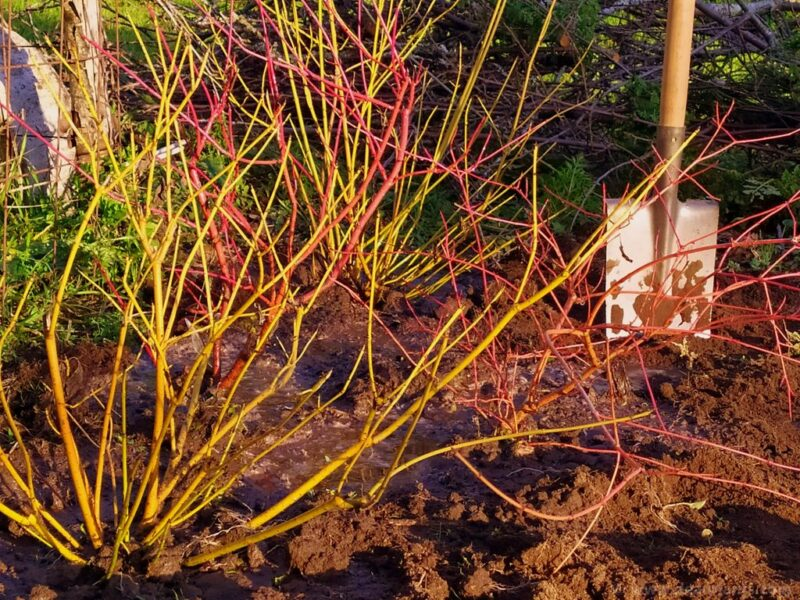 Six on saturday - 2020-01-11 - 1. planting cornus - www.dearplants.com