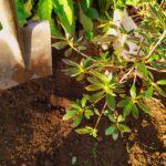 Six on saturday - 2020-01-11 - 5. planting azalea - www.dearplants.com