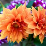 Dahlia - www.dearplants.com
