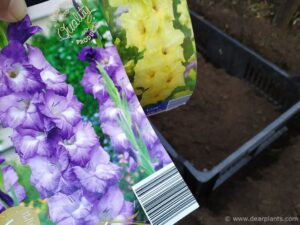 How to plant and protect bulbs and tubers from mice and moles - gladiolus nori and nova lux
