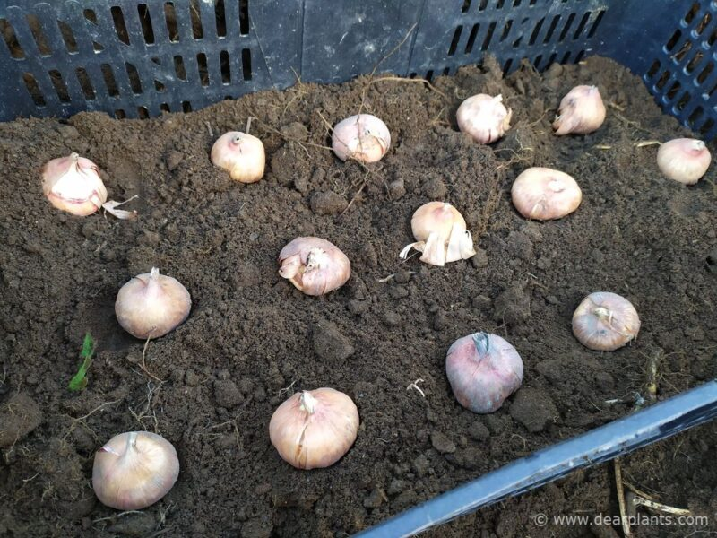 How to plant and protect bulbs and tubers from mice and moles - plant the bulbs inside the box - www.dearplants.com