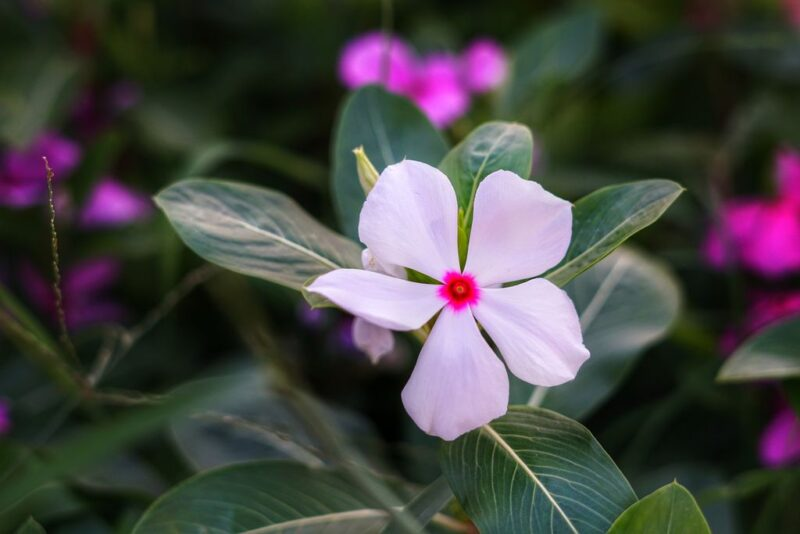 Catharanthus roseus (rose periwinkle or cayenne jasmine) - white flower - www.dearplants.com