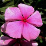 Catharanthus roseus (rose periwinkle or cayenne jasmine) - www.dearplants.com