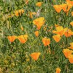 Eschscholzia californica (California poppy) - California sunlight - www.dearplants.com