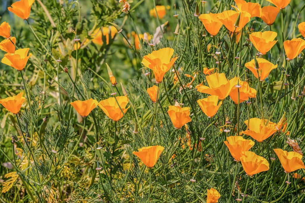 Eschscholzia californica (California poppy) - California sunlight - www.dearplants.com