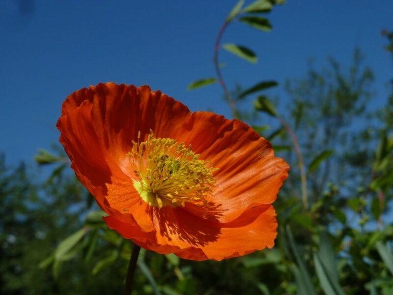 Eschscholzia californica (California poppy) - orange - www.dearplants.com
