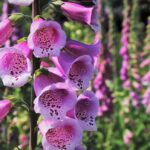 Foxglove (Digitalis purpurea) - www.dearplants.com