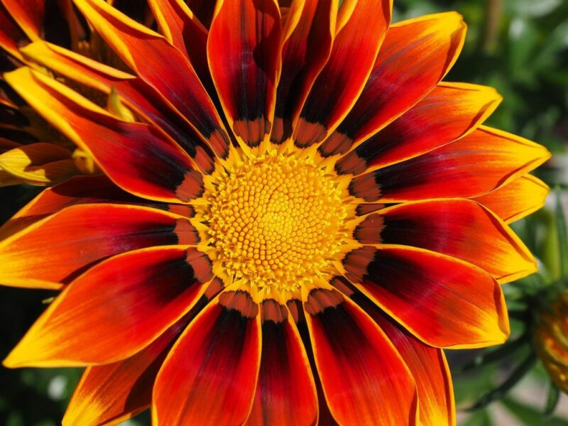 Gazania rigens (Treasure flower) - orange and yellow - www.dearplants.com