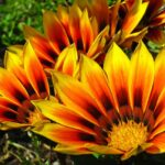 Gazania rigens (Treasure flower) - www.dearplants.com