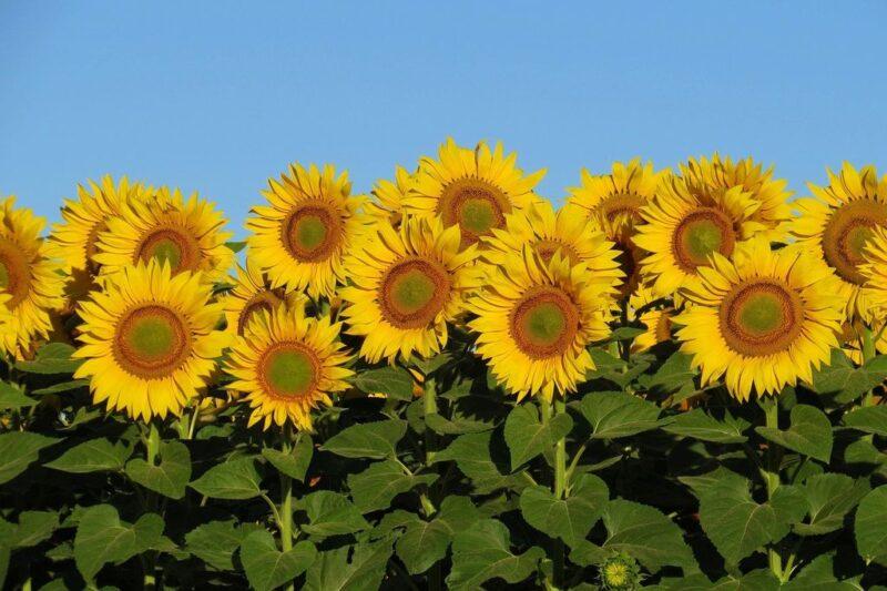 Helianthus annuus (Sunflower) -sunflower field - www.dearplants.com