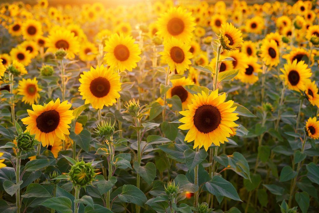 Helianthus annuus (Sunflower) - www.dearplants.com