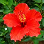 Hibiscus rosa-sinensis (Tropical hibiscus, Rose of China or Hawaiian hibiscus) - red flower - www.dearplants.com