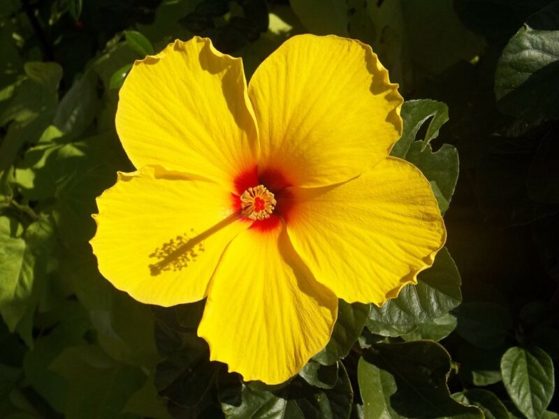 Hibiscus rosa-sinensis (Tropical hibiscus, Rose of China or Hawaiian hibiscus) - yeallow flower - www.dearplants.com
