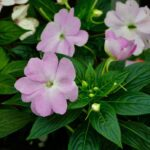 Impatiens walleriana (Busy lizzie) - www.dearplants.com