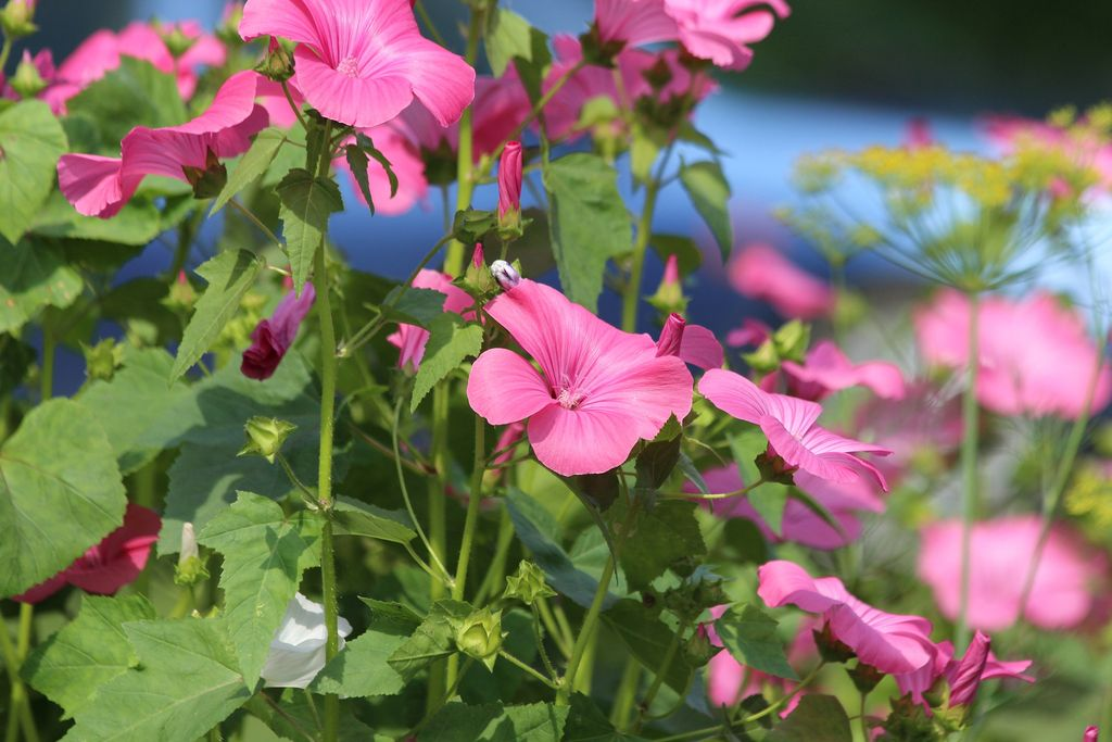 Lavatera trimestris (Royal mallow) - flowers - www.dearplants.com