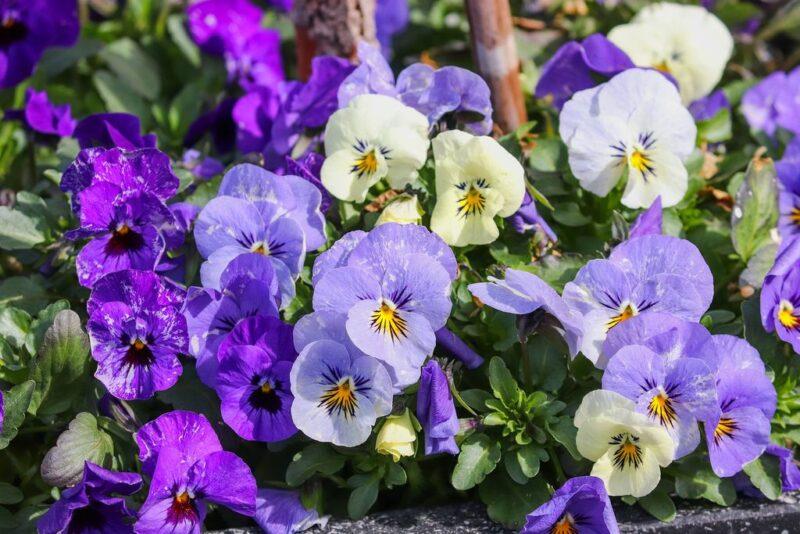 Pansy (Viola × wittrockiana) - www.dearplants.com