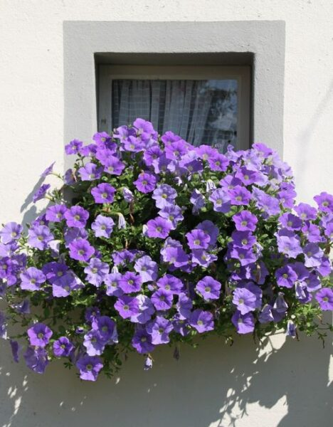 Petunia - purple flowers in balcony - www.dearplants.com
