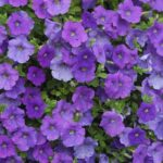 Petunia - purple flowers - www.dearplants.com