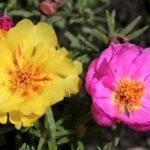 Portulaca grandiflora (Rose moss or Eleven o'clock) - www.dearplants.com