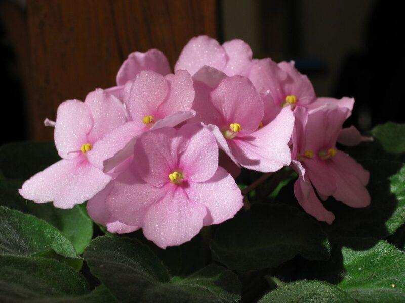 Saintpaulia ionantha (African violet) - flowers - www.dearplants.com