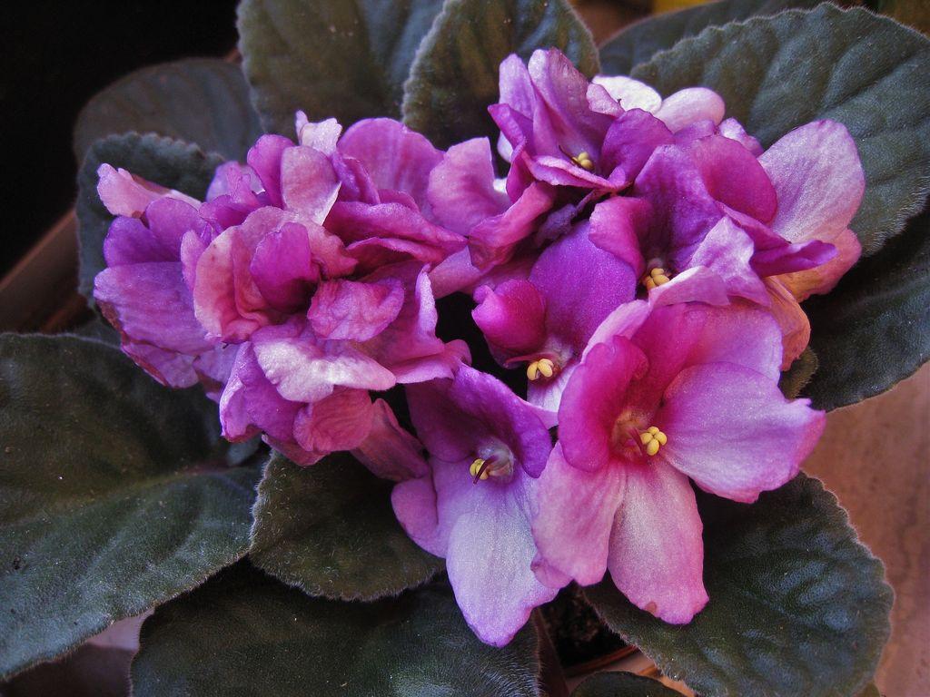 Saintpaulia ionantha (African violet) - www.dearplants.com