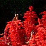 Salvia splendens (Scarlet Sage) - www.dearplants.com