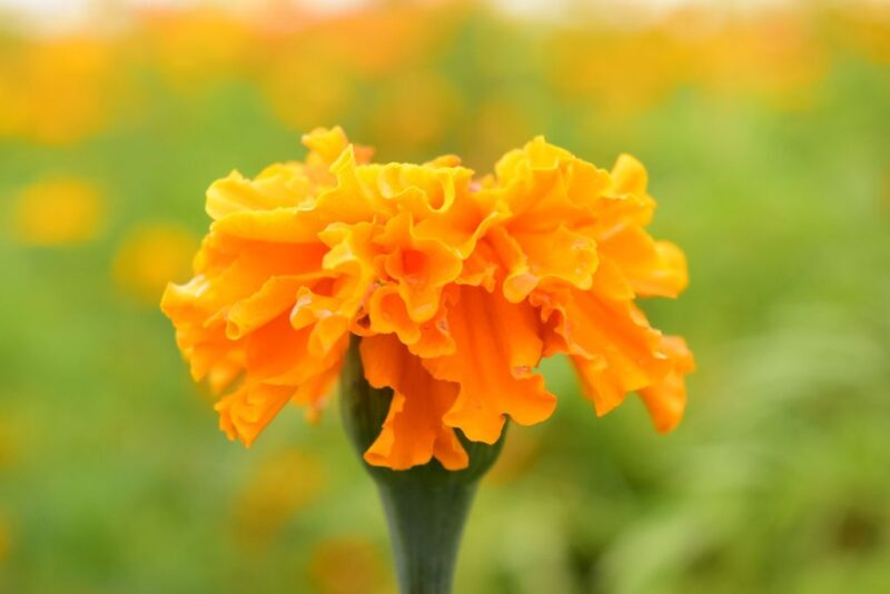 Tagetes patula (French marigold) - orange flower - www.dearplants.com