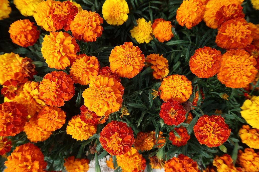 Tagetes patula (French marigold) - www.dearplants.com