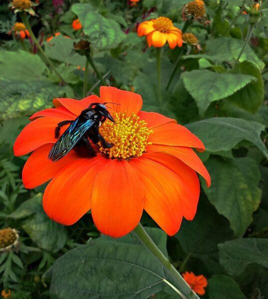 Tithonia rotundifolia (Mexican sunflower or Mexican marigold) - bumble bee - www.dearplants.com