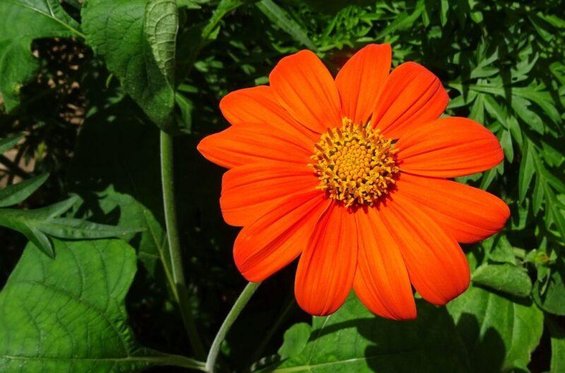 Tithonia rotundifolia (Mexican sunflower or Mexican marigold) - orange flowers - www.dearplants.com