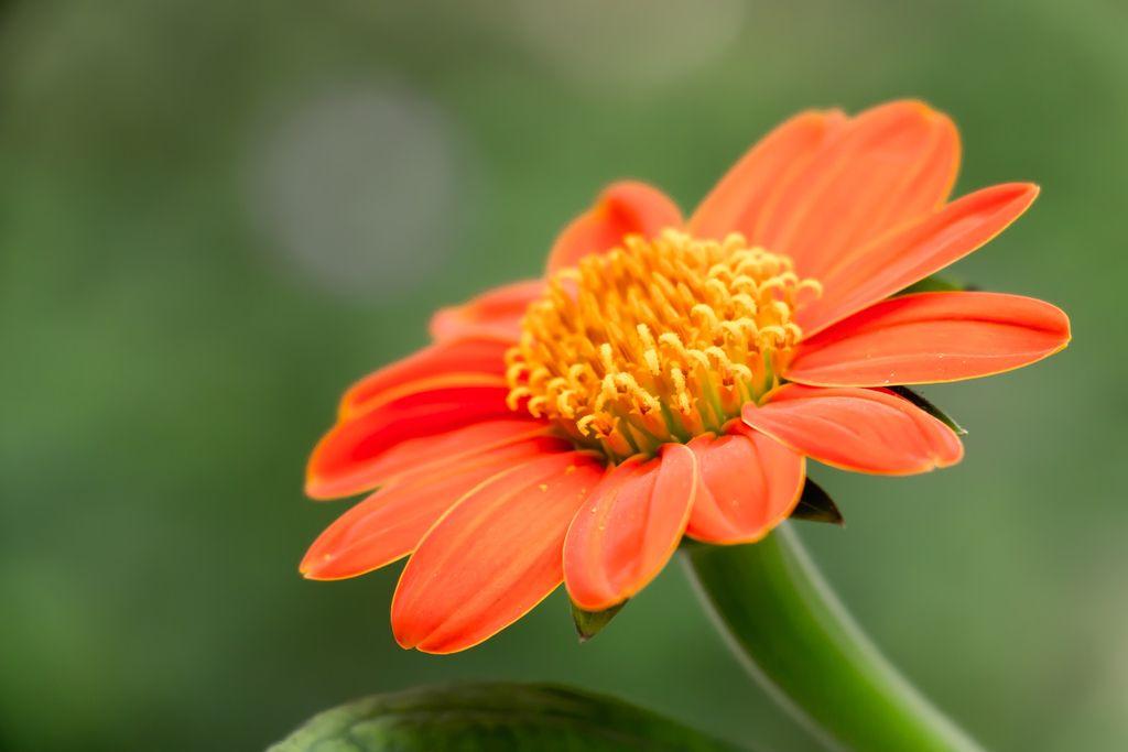Tithonia rotundifolia (Mexican sunflower or Mexican marigold) - www.dearplants.com