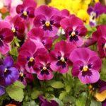 Viola × wittrockiana (Pansy) - www.dearplants.com